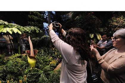 Visitors to Phipps Visitors to Phipps take pictures of the corpse flower.