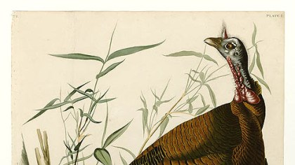Wild turkey Wild turkey by Audubon.