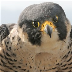 Silver Boy Dorothy, a resident 14-year-old peregrine falcon at the Cathedral of Learning on the University of Pittsburgh campus, is parent, with partner E2, to Silver Boy, who was born April 25. Silver Boy was the 42nd chick fledged by Dorothy and E2 and died Friday.