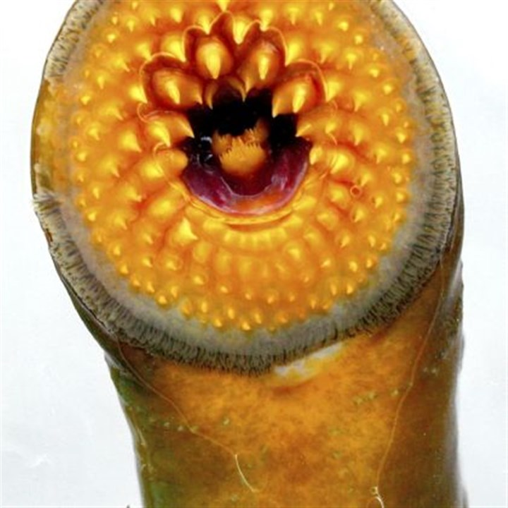 A lamprey A lamprey is shown close up at a sea lamprey research station in Rogers City, Mich. The eel-like fish is among vast populations of foreign fish, mussels and other creatures that have invaded and damaged the Great Lakes in the last few decades, creating a more difficult problem than the industrial contamination that fouled the lakes in the 1960s.