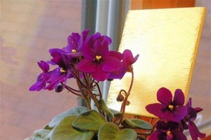 African violet African violets prefer bright, indirect sun and need eight hours of darkness each night.