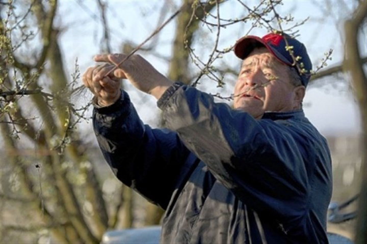 Antonio Magdaleno Antonio Magdaleno, 59, ties down branches on a plum tree orchard in Selma, Calif.