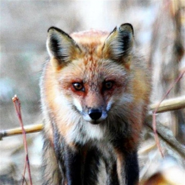As the price of red fox pelt prices go As the price of red fox pelt prices go, so goes the interest in trapping them in the state.