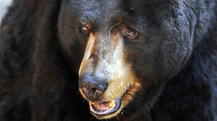 bear face press The Pittsburgh Zoo & PPG Aquarium used Susan and Stanley, the zoo's two black bears, to demonstrate what hungry bears can do to a campsite if food is left in the open. See the full story in today's Pittsburgh Press.
