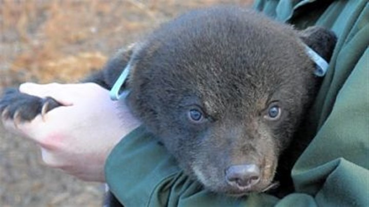 Bear A 2-month-old cub is tagged and examined by a wildlife conservation officer of the Pennsylvania Game Commission before being released in Cambria County March 17.