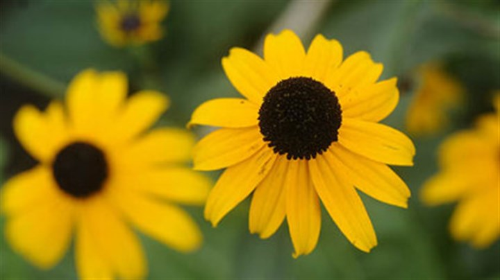 Black-eyed Susans Black-eyed Susans are native perennials that bloom from late summer to fall.