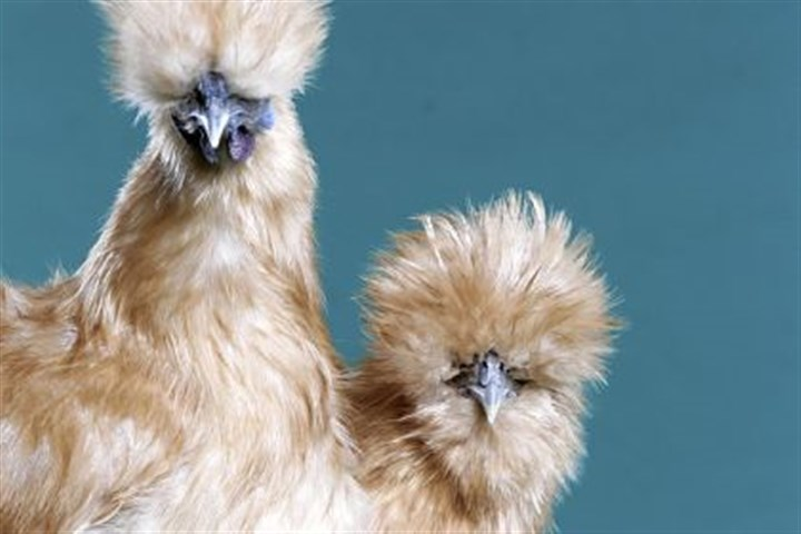 Buff Silkie Bantams Buff Silkie Bantams.
