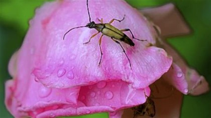 Bugs A flower longhorn beetle on a spent rose.
