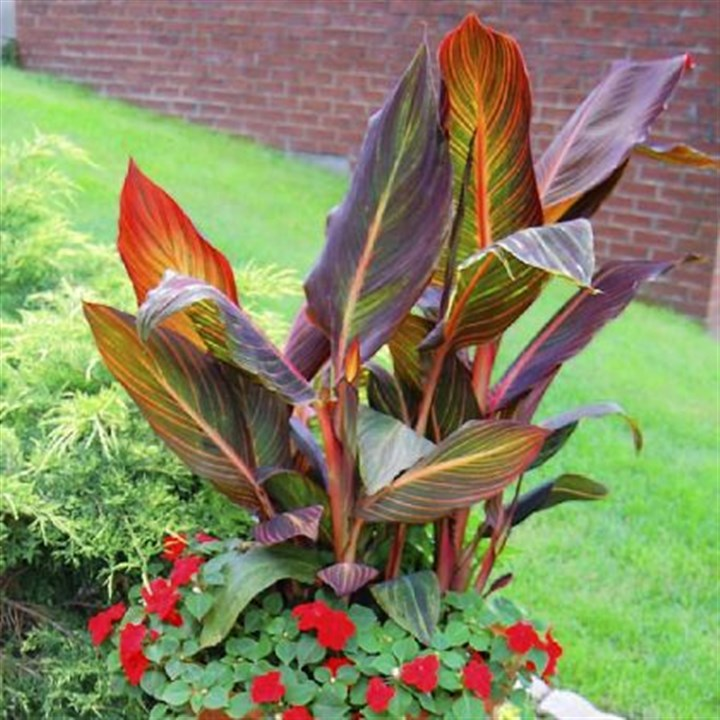 Canna pot Here, in a pot arranged by Daniel Marsula, red impatiens are paired with canna 'Tropicanna.'