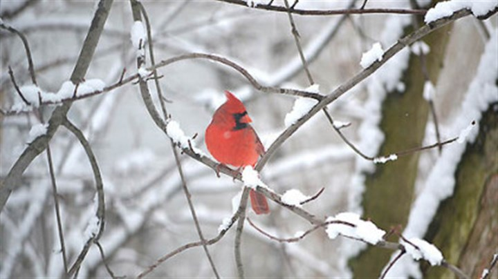 "Cardinal in the snow Michael Colosimo shared this photo from today's weather scene in Monongahela, Pa. entitled ""Snowy cardinal."" View Michael's ""Snow dog"" photo and share your own winter weather pictures at www.post-gazette.com/yourphotos. Click on Breaking News."
