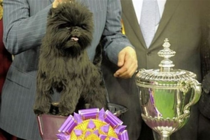 Dog Show Banana Joe, an Affenpinscher, won Best of Show at the 137th Westminster Kennel Club Dog Show Tuesday at Madison Square Garden in New York.