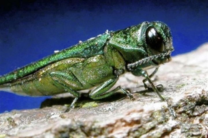 emerald ash borer An adult emerald ash borer is shown here. Since the discovery of a tree-killing beetle in Ohio two years ago, about 200,000 ash trees have been destroyed.