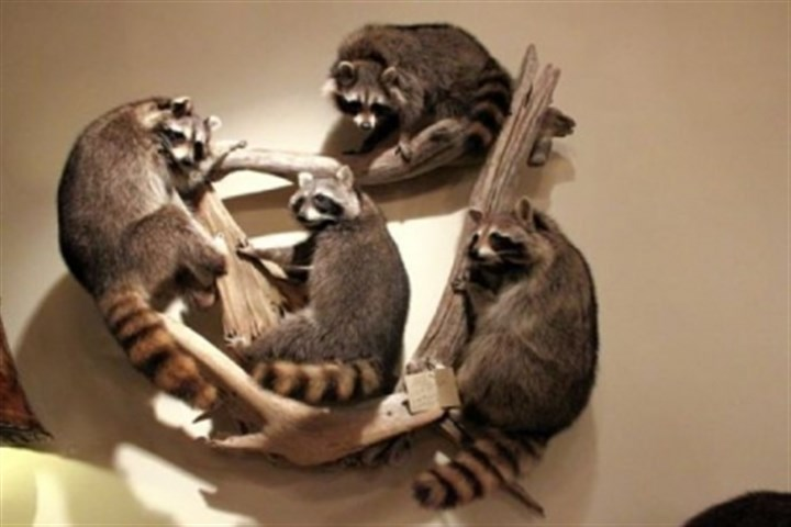 Four Racoons wall art Four Racoons wall art was just one of the many ways former woodland creatures are transformed into family room conversation pieces.