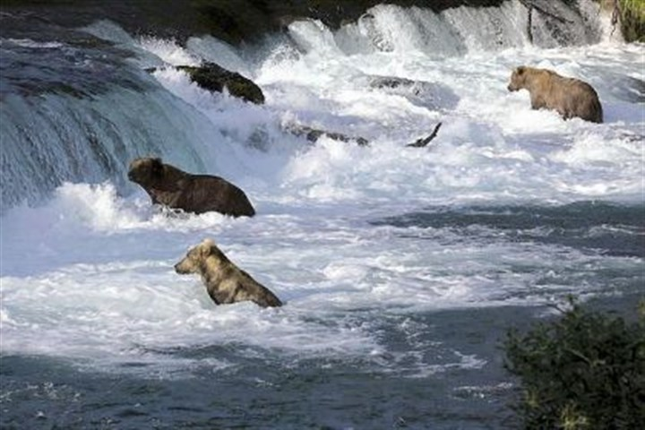 Grizzlies and salmon The grizzlies of Katmai National Park fight to get a bounty of salmon before winter sets in.