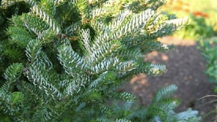 'Horstmann's Silberlocke' (Abies koreana 'Horstmann's Silberlocke' (Abies koreana) is also available in a prostrate form that will slowly cover a bank or open area.
