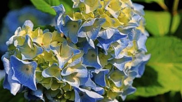 Hydrangea Bloom from a 'Nikko Blue' hydrangea, one of the first castoffs planted in the garden.