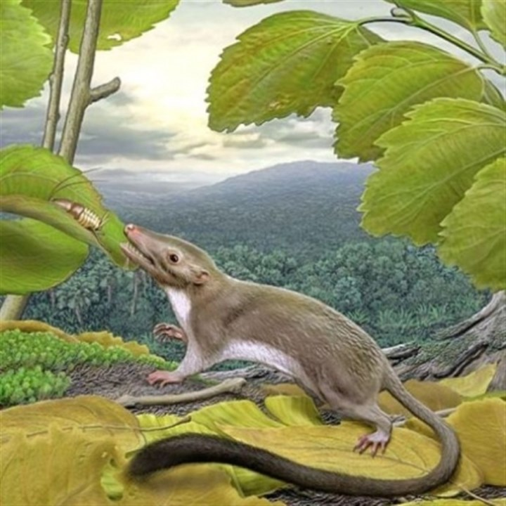 hypothetical placental ancestor An artist's rendering of the hypothetical placental ancestor, a small insect-eating animal. The research team reconstructed the anatomy of the animal by mapping traits onto the evolutionary tree most strongly supported by the combined phenomic and genomic data and comparing the features in placental mammals with those seen in their closest relatives.