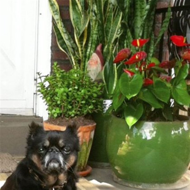 Jiffy Jiffy the Brussels Griffon sits in front of a varied grouping of pots, with an antherium and a jade plant in front of a large pot filled with snake plant.