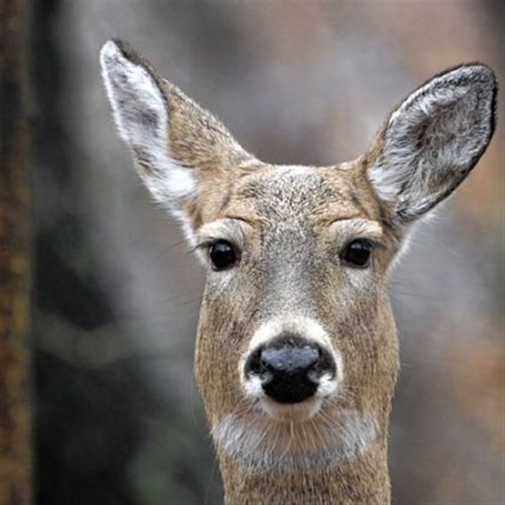 stories news story deer drives time honored tactic