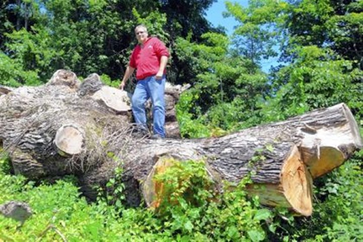 Local tree enthusiast Stephen Halow Local tree enthusiast Stephen Halow stands on a fallen white oak in Fayette County that once was the second largest in the U.S.