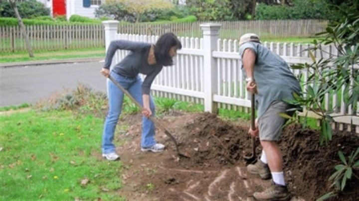 Mary Menniti and Michele Vaccaro Michele Vaccaro, owner of Vaccaro Landscaping, helps Mary Menniti unearth a brown fig tree at her Edgeworth home. He gave her the tree three years ago and helps her bury it in the fall and dig it up in the spring. This is the only way to be sure to get fruit in our climate.
