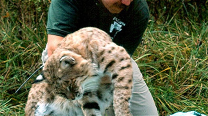Matt Lovallo Game Commission furbearer biologist Matt Lovallo examines a tranquilized bobcat in Elk County.