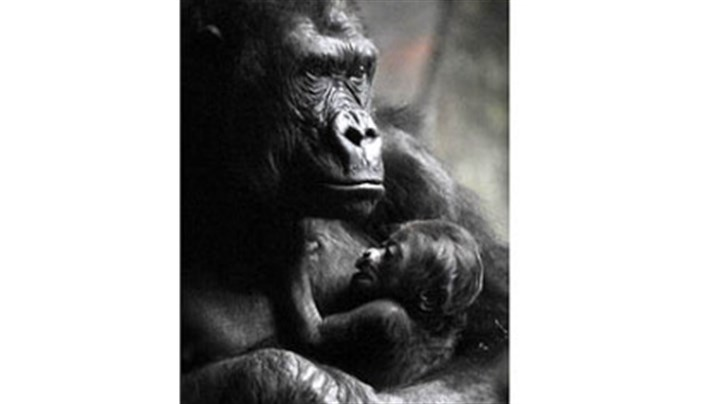 Moka and baby Moka, a western lowland gorilla, cradles her newborn baby in February at the Pittsburgh Zoo & PPG Aquarium. The infant gorilla died on Saturday.