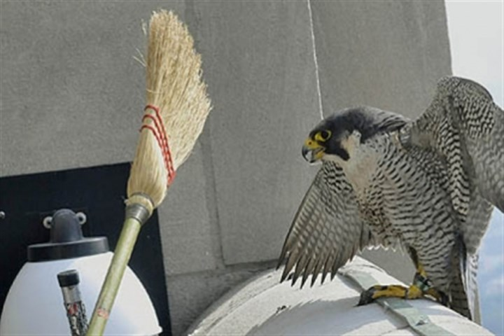 peregrine falcon file Dorothy, the mother Peregrine falcon whose nesting box is on the 40th floor of the Cathedral of Learning at the University of Pittsburgh in Oakland, was held back as a Wildlife Conservation Officer from the Pennsylvania Game Commission removed three chicks from the nesting box for testing last year.