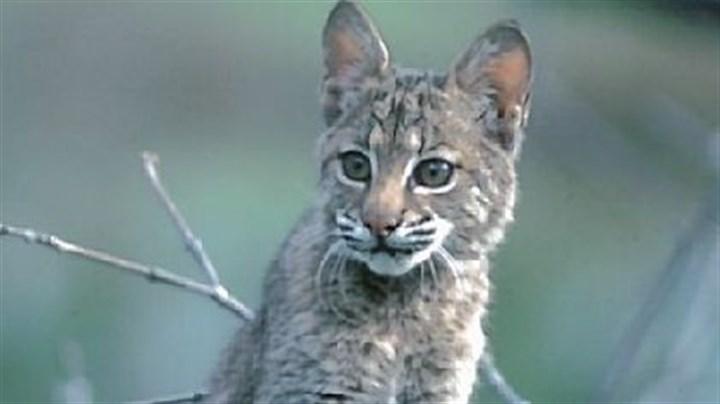 Bobcat Of Pittsburgh >> Proposed changes to bobcat seasons reflect expanding range | Pittsburgh Post-Gazette