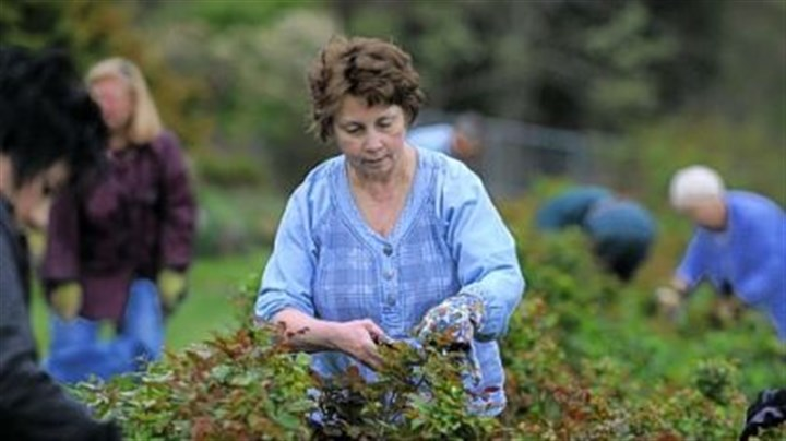 Renziehausen Park Mary Carney of White Oak and other gardeners prune rose brushes at Renziehausen Park, McKeesport.