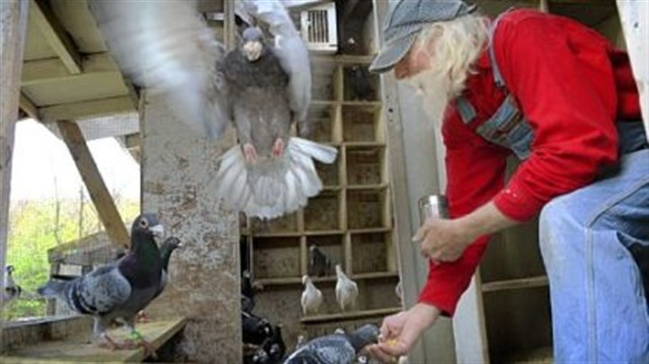 Ron Goebel Ron Goebel feeds some of the pigeons he breeds and raises in lofts at his Butler County home. Goebel has been raising pigeons since he was a teenager in Troy Hill in the early 1950s.