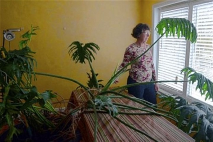 Ronna Scoratow Ronna Scoratow of Squirrel Hill is pictured with her 40-year-old tree philodendron.