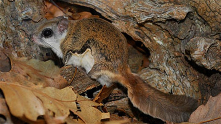 Southern flying squirrel The southern flying squirrel is common in Pennsylvania, but it's nocturnal and rarely seen. Habitat loss has put the northern species on the state's endangered list.