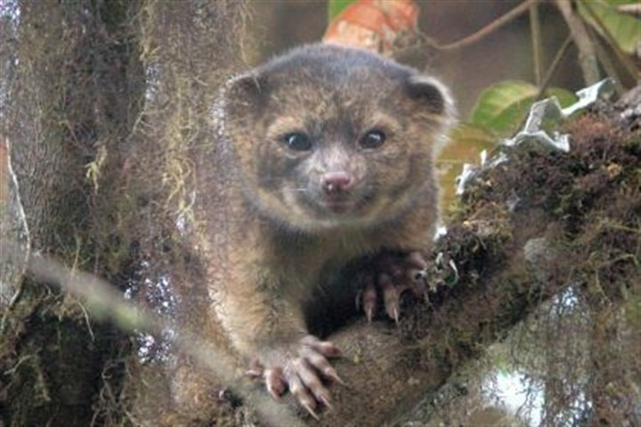 The olinguito This photo provided by the Smithsonian Institution shows an olinguito, which had been observed for years, even in its natural habitat, but mistaken for the olingo.