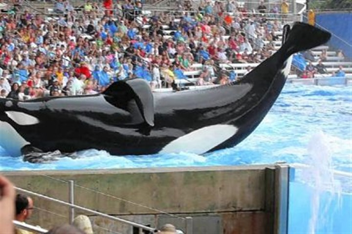 "Tilikum The documentary ""Blackfish"" focuses on Tilikum and other killer whales held in captivitiy for entertainment."