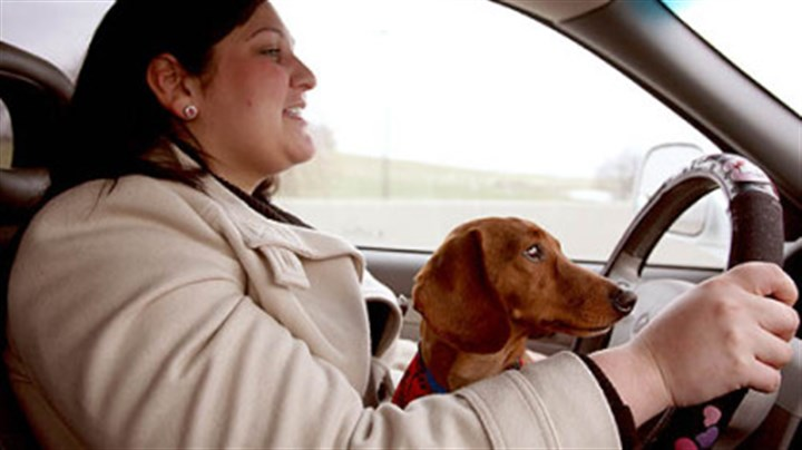 'Tootsie' Tifanie Tiberio, of the Animal Rescue League, drives to Harrisburg to reunite Tootsie, a 5-year-old dachshund, with his family from Pleasantville, N.J.