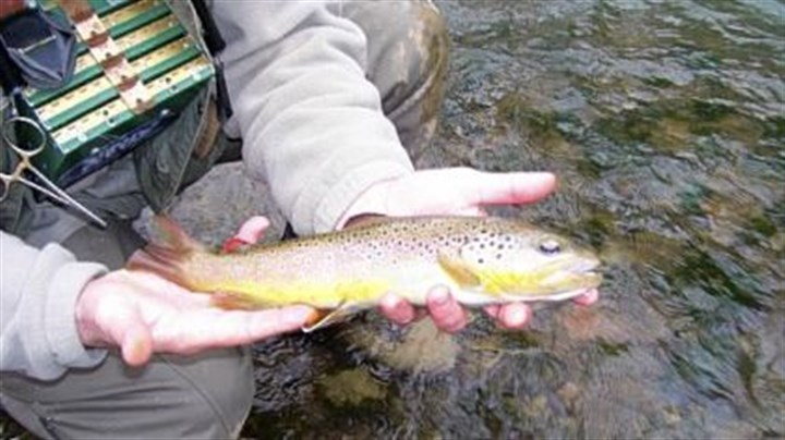 Trout-stocking With the trout-stocking budget stretched painfully thin, the Pennsylvania Fish and Boat Commission is encouraging anglers to seek wild trout, such as the one above caught and released at Fisherman's Paradise at Spring Creek.