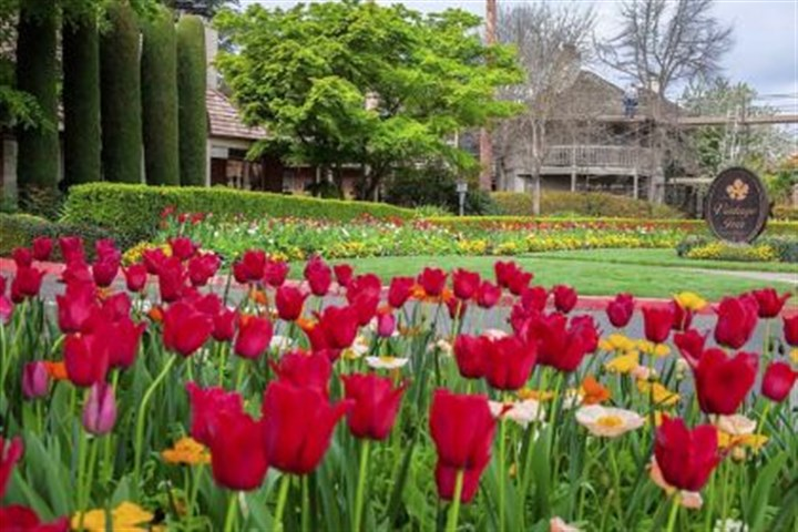 Vintage Inn Tulips bloom in the garden in front of the Vintage Inn in Napa Valley's Yountville, Calif.