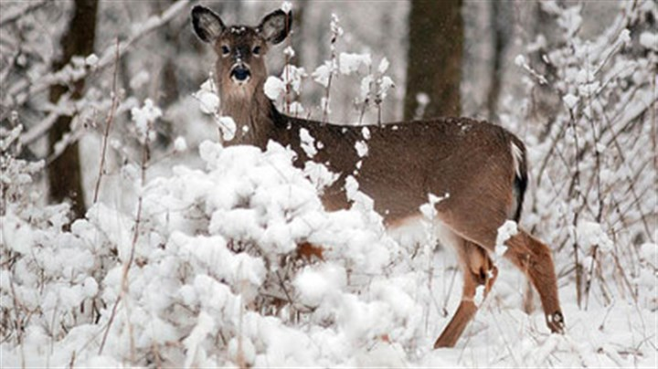 White-tailed deer When temperatures drop, white-tailed deer conserve calories by reducing movement, and their hollow fur insulates them from the cold.