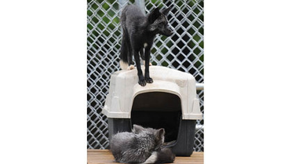 Captain, bottom, and Jack Captain, bottom, and Jack, are two of the three silver foxes now living in a new enclosure at the Animal Rescue League's Wildlife Center in Verona.