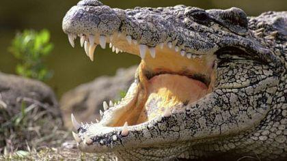 """Crocodile Crocodile is on the list of """"Ominivore's 100."""""""