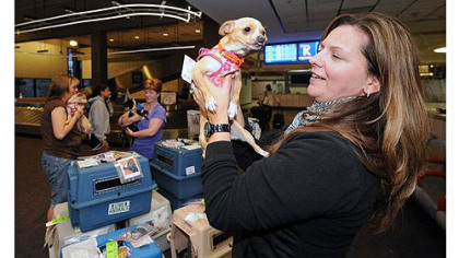 Dancer Dancer, one of seven Chihuahuas heading from San Diego to Critter Care in Evans City to be available for adoption, meets Jodi Hilliard from Butler at Pittsburgh International Airport.