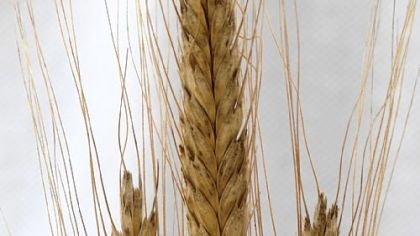 Einkorn wheat Austrian Landrace variety of Einkorn wheat.