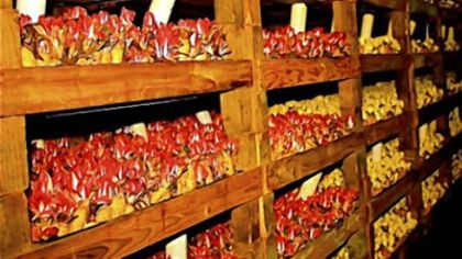 """Endive forcing room An endive forcing room, or """"endive cave,"""" at California Vegetable Specialties."""