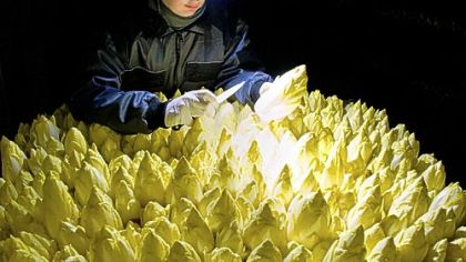 Endive production An employee of Landgut Pretschen wears a head light as she checks the chicory production. Also called Belgian endive the plant is cultivated in underground or indoors to avoid the leaves turning green and opening up from the sunlight.
