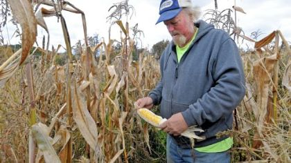 Jim Bridge Jim Bridge, who grew 10 acres of Primus sweet corn on his Plum farm this season, says he stays clear of GMOs, or genetically modified organisms, because of all the restrictions associated with them.