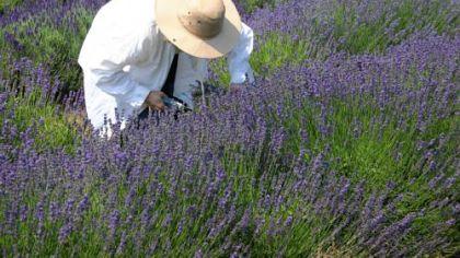 Lavender bloom at its peak.