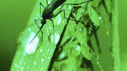 Mosquito Mosquitoes thrive when wet weather leaves pools of water where they can lay eggs.
