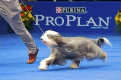 Olivia, a bearded collie Olivia, a bearded collie owned by Ray and Kathy Harrington of Peters and Carolyn O'Neil of Nashville, Tenn., was named best of breed at the Westminster dog show.