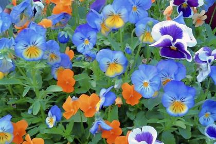 pansy The pansy is another flower that has culinary uses.